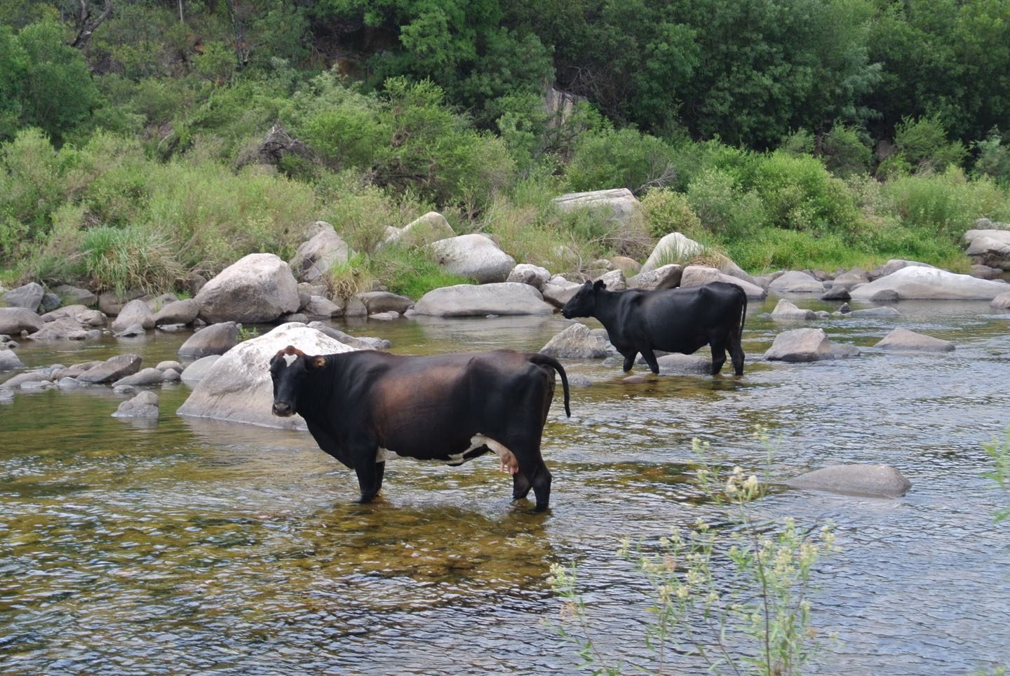 Loose cows in Rio Quilpo.