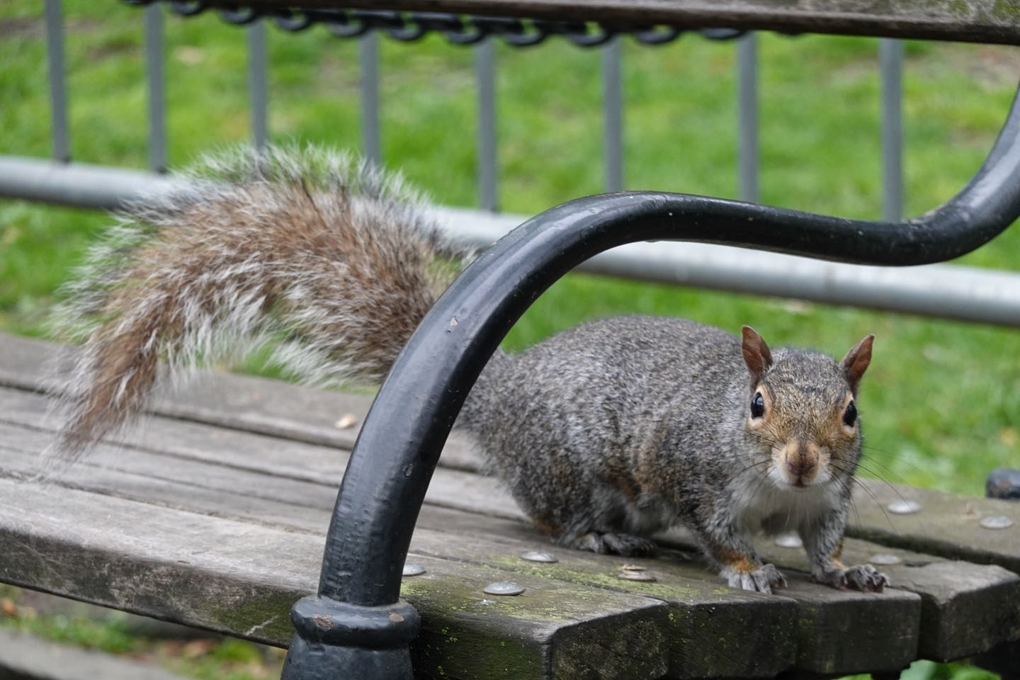 Curious and friendly squirrel in City Hall Park.