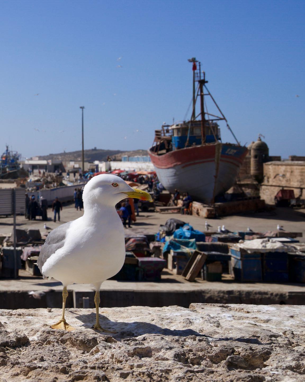 Gaviota en el puerto de Essaouira
